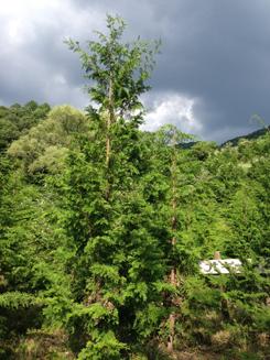 ヒノキ・ハンノキがさらに成長する様、来年度も「下草刈り活動」を実施してまいります。