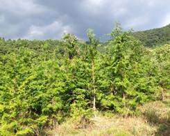 ヒノキも5m超えの樹が多くありました